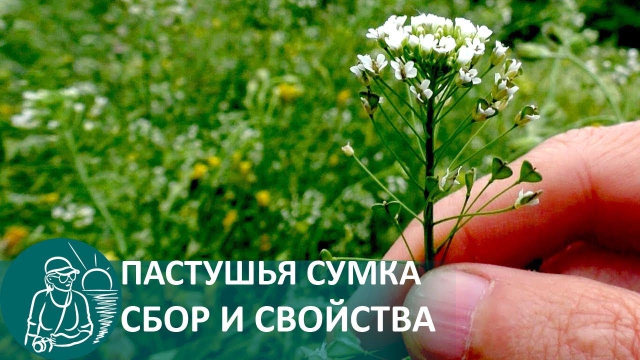 ac2cd2541910 ☘ Лекарственные растения: пастушья сумка - YouTube