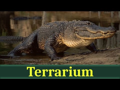 видео: Миссисипский аллигатор (лат. alligator mississippiensis)