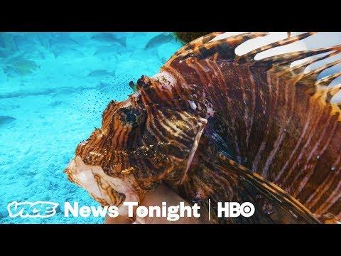 The Invasive, Venomous Lionfish Is Killing Atlantic Reefs (HBO)
