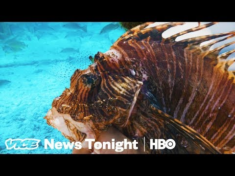 The Invasive, Venomous Lionfish Is Killing Atlantic Reefs (HBO)