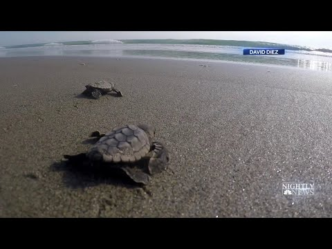 Deuce - Baby Sea Turtle Lights Being Installed On Florida Beaches