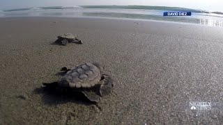 New Lights Installed Along Florida's Coastline To Protect Baby Sea Turtles | NBC Nightly News