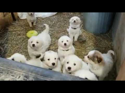 Great Pyrenees puppies in the barn!