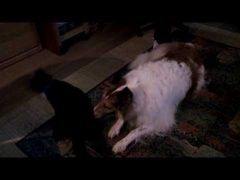 Cat jumping on dog's head.AVI