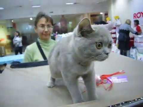 #2 Сatshow - выставка котов - британцы | Funny Video About Cats