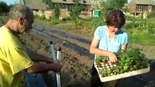 Sadnja pelcera batata pomocu sadilice