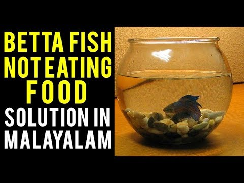 Betta Fish Not Eating Food. Solution In Malayalam !