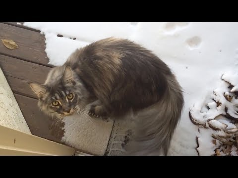 Maine coon cat sees snow for first time