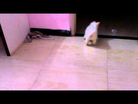 Pomeranian Dog In City Mumbai The Active Pomeranian Breed Youtube
