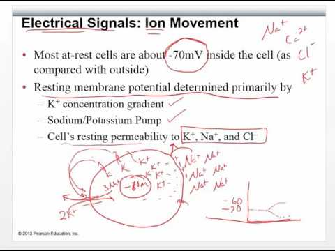 Chapter 8   Pt 2   Electrical Properties of Neurons