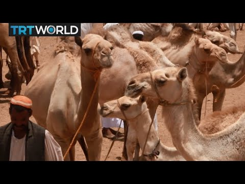 Sudan Camel Trade: Camel trade hurt by ongoing demonstrations