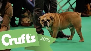 Best Of Breed - Bulldog And Winner's Interview | Crufts 2015