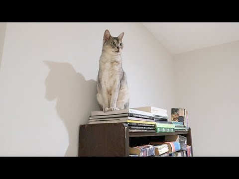 Abyssinian cat gets stuck on shelf and can't get down... or can she? | CUTE CAT CLEO