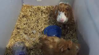 Guinea Pig Sounds / suara marmut