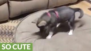 ハスキー犬の赤ちゃん…自分の影と戦う(動画)