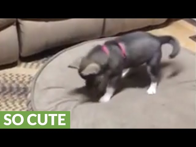 Husky puppy discovers her shadow, tries to catch it