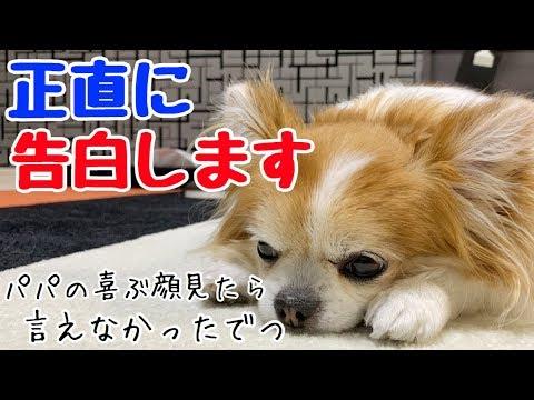 【チワワの告白】飼い主衝撃!シニア犬チワワのカミングアウト【シニア犬】【かわいい犬】【chihuahua】【cute dog】【ペット動画】