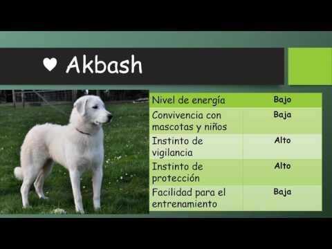 CUIDADOS PERRO AKBASH BREED | ANIMALTIME