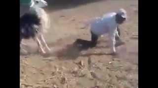 Au Maroc, les moutons sont plus dociles !