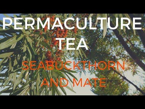 food-forest-tea!-seabuckthorn-and-yerba-mate