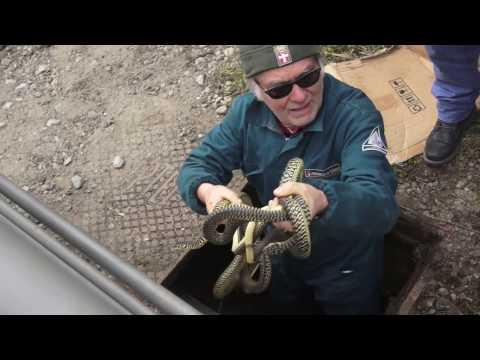 Nido di serpenti a Carignano