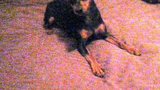 Maddox Miniature Pinscher Lost In Okc Playing On Bed (edited)