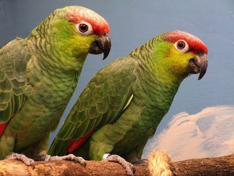 what do birds eat.pet birds.parrot training.pigeon food.bird training.lovebird training.lovebird