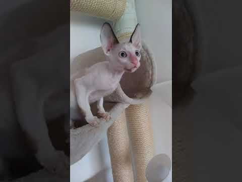 Cute Cornish Rex girl! little angel