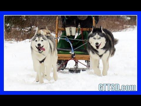 HUSKIES GO DOG SLEDDING   Oakley can Pull the Sled