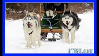 HUSKIES GO DOG SLEDDING | Oakley can Pull the Sled