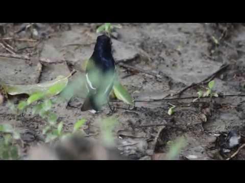 Oriental Magpie-Robin hunts a Grasshopper