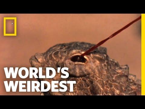 Blood-Squirting Lizard | World's Weirdest