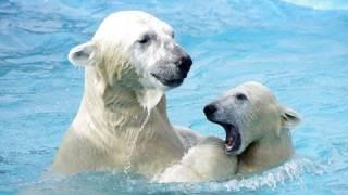 円山動物園のホッキョクグマ、ララ(メス/16歳)とアイラ(メス/2010年12月...