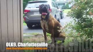 "2 Year Old Boxer ""lacey"" Before/after Video 