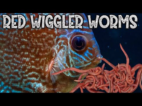 Culturing Red Wiggler Worms For Your Aquarium