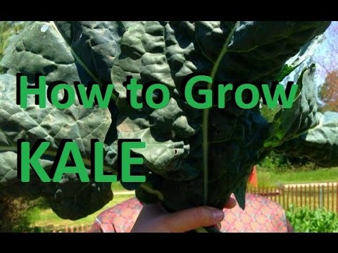 How to Grow Kale - Complete Growing Guide