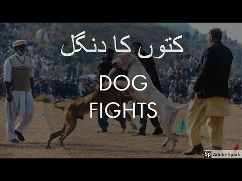 Dog Fights in Pakistan