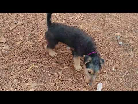 Pack Wall Airedale Terrier Puppies for Sale on December 18, 2017