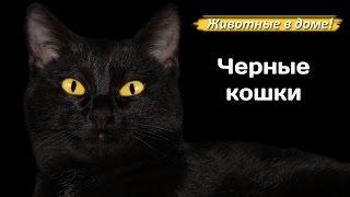 Черная кошка, черный кот. О кошках черного окраса.