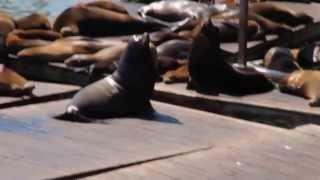 Sea Lions San Francisco Pier 39 Fisherman