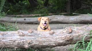 Gracie Smiling - Yellow Labrador Retriever Rescue