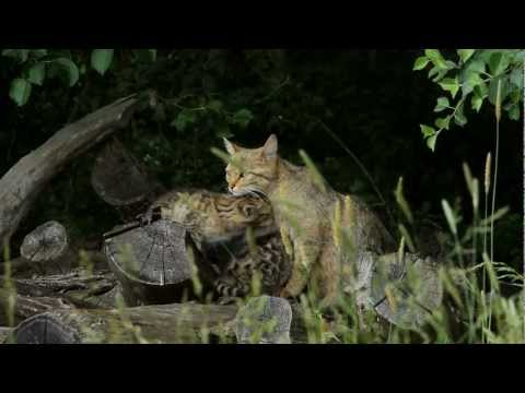 Chat sauvage du Bugey