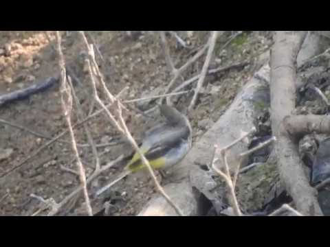 Video of Grey wagtail at its favorable pondside