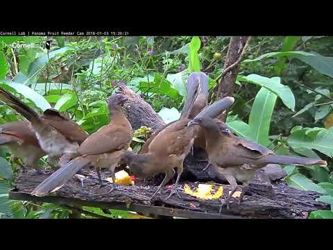 Common Species Of The Panama Fruit Feeder Cam