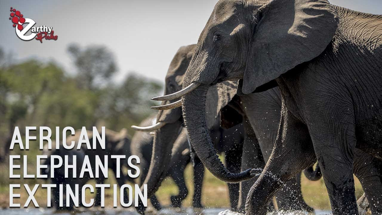 African Elephants On Verge Of Extinction: Human Activities Playing Major Role
