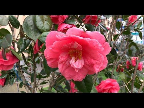 Весна в Батуми и красивая грузинская песня. გაზაფხული ბათუმში და ულამაზესი ქართული სიმღერა