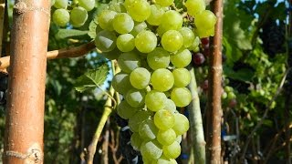 Технические сорта винограда 2015. Часть 3 (Technical grapes 2015. Part 3)