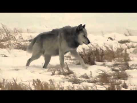 Http Funny Com When A Wild Wolf Approaches A Pet Dog