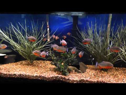 Ultimate Guide To Tiger Barb Fish Care Feeding Breeding Tankmates