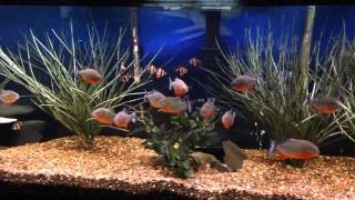PIRANHAS EATING along side aggressive tiger barbs and convicts